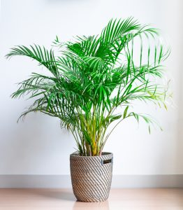 Areca palm / Dypsis lutescens